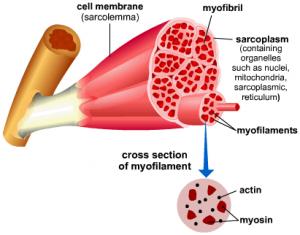 Myofibril-picture